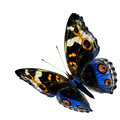 Exotic Flying Blue Butterfly, The Blue Pansy Butterfly Isolated Royalty Free Stock Image - 71555576