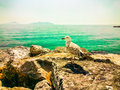 Seagull Resting On A Rock Overlooking The Sea Royalty Free Stock Photo - 71571995