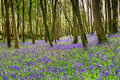 Bluebells In Cornwall Royalty Free Stock Image - 71586336