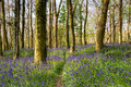 A Path Through Bluebell Woods Stock Image - 71586341