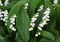 Lily Of The Valley Royalty Free Stock Images - 71625539