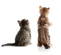 Cat Back View. Two Kittens Sitting Isolated On White. Stock Photography - 71629992