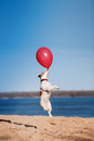 Dog Jack Russell Terrier Jumps In The Air To Catch Flying Balloons Royalty Free Stock Images - 71672589