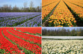 Spring Flowers Collage. Dutch Landscape. Stock Image - 7175911