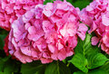 Hydrangea Common Names Hydrangea Or Hortensia Royalty Free Stock Images - 71706369
