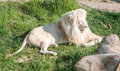 Large Male White Lion Royalty Free Stock Photography - 71718797