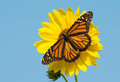 Female Monarch Butterfly Feeding On A Bright Yellow Wild Sunflower Royalty Free Stock Photo - 71719745