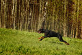 Black Doberman Runs Gallop On The Hill Royalty Free Stock Photo - 71725875