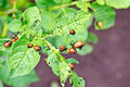 Colorado Beetle Larvae On Potato Leaves Stock Image - 71726011