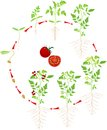 Cherry Tomato Growing Stage Royalty Free Stock Photo - 71728005