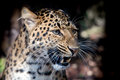 North Chinese Leopard Close Up Royalty Free Stock Images - 71748699