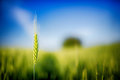 Green Wheat Field Royalty Free Stock Photography - 71760707