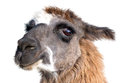 Beautiful Lama Portrait Stock Images - 71774234