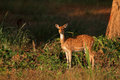 Female Spotted Deer  Stock Photos - 71790113