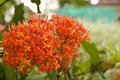 Red Ixora Flowers Royalty Free Stock Image - 7185246