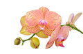Pink Orchid Flower Stock Photography - 71835242