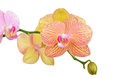 Pink Orchid Flower Stock Image - 71835811