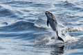 Common Dolphin Jumping Outside The Ocean Stock Images - 71837424