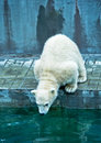 Polar Bear Cub Try Jump To Water Stock Images - 71843804