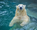 Polar Bear Swimming In Water Royalty Free Stock Photography - 71844597