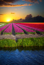 Pink, Red And Orange Tulip Field In North Holland Stock Image - 71880421