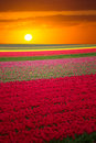 Pink, Red And Orange Tulip Field In North Holland Royalty Free Stock Photos - 71880438
