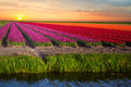 Pink, Red And Orange Tulip Field In North Holland Royalty Free Stock Image - 71880926