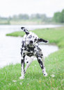 Dog Shaking Off Water After Swimming In Al River Or A Lake Royalty Free Stock Photography - 71884057