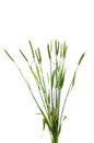 Green Wheat Ears Isolated Royalty Free Stock Photography - 71899307