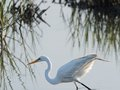 Great Egret Royalty Free Stock Photography - 71925817