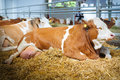 Cow In A Stable Stock Photography - 71954052