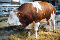 Large Brown Bull Stock Photo - 71954090