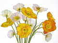 Poppies Stock Images - 71965504