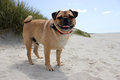 Pug Dog On A Sandy Beach Landscape Royalty Free Stock Image - 71973536