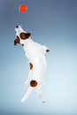 Small Jack Russell Terrier Jumping High Stock Images - 71974014