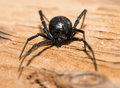 Black Widow Spider Outdoors Stock Photo - 71987420