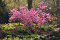 Korean Rhododendron Stock Images - 720144