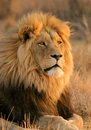 African Lion Stock Image - 724951
