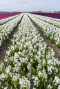 White Hyacinth Field Noord-Holland Stock Photos - 72026493