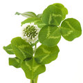 Leaves And White Flower Of Clover Stock Photos - 72035833