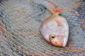 Red Porgy Popular Marine Cultured Fish On Fishing Nets Stock Photography - 72057732