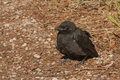 Black Crow Fledgling Stock Image - 72084901