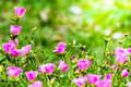 Portulaca Grandiflora (Moss-rose Purslane Or Moss-rose), Family Stock Photography - 72085102