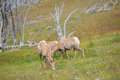Young Big Horn Sheep Royalty Free Stock Photo - 72091805