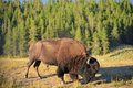 Bison Royalty Free Stock Images - 72092089