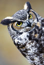 Great Horned Owl Stock Images - 7213524