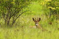 Roebuck Hiding In The Grass Royalty Free Stock Image - 72104926
