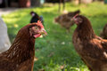 Egg Laying Hens Royalty Free Stock Images - 72137399