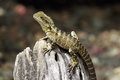 Australian Water Dragon (Intellagama Lesueurii) Stock Photo - 72150560