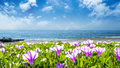Beatiful Pnk Flower Beside The Beach With Nice Background Color Stock Image - 72176501